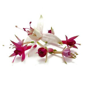 Flores de fucsias